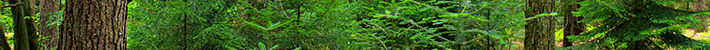 Purified forest extracts, ingredients & molecules of interest from the boreal forest