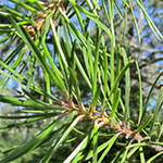 Jack Pine essential oil