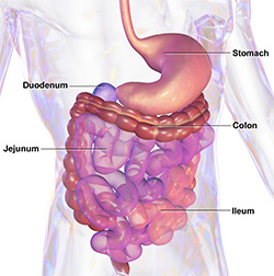 the human gastro-intestinal tract