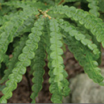 Sweet Fern essential oil